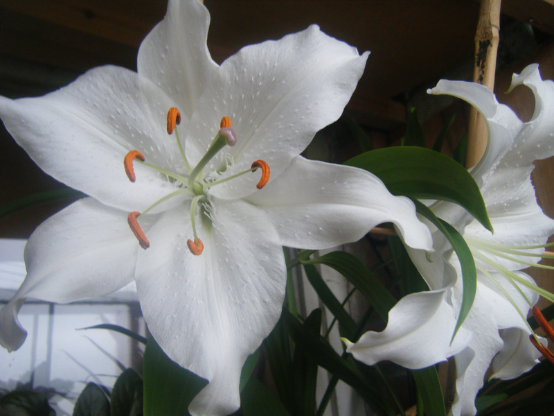 Белая лилия в домашних условиях 320