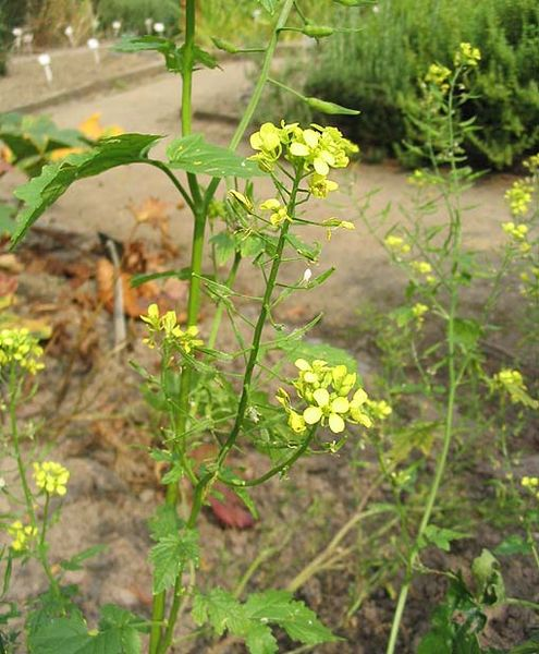 http://www.garden.naturalness.ru/wp-content/uploads/2010/10/sid-ImageMoutarde1.jpg