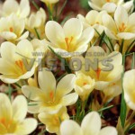 Crocus-Cream-Beauty