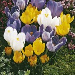 Crocus-Mix