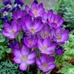 Crocus-Ruby-Giant