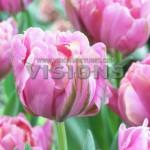 Tulip-Britt