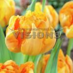 Tulip-Orca